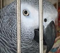 21-african grey