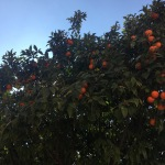 bcn-horta orange tree